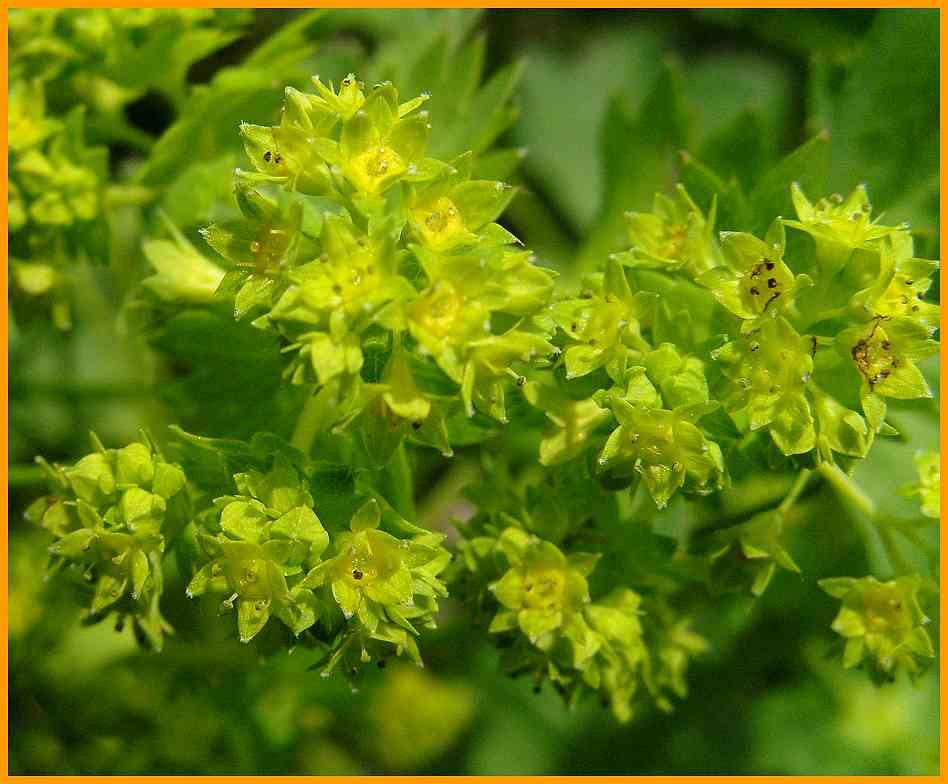 pflanzen bestimmen blumen bl ten flora botanik wiesenblumen blattform bl tenform. Black Bedroom Furniture Sets. Home Design Ideas